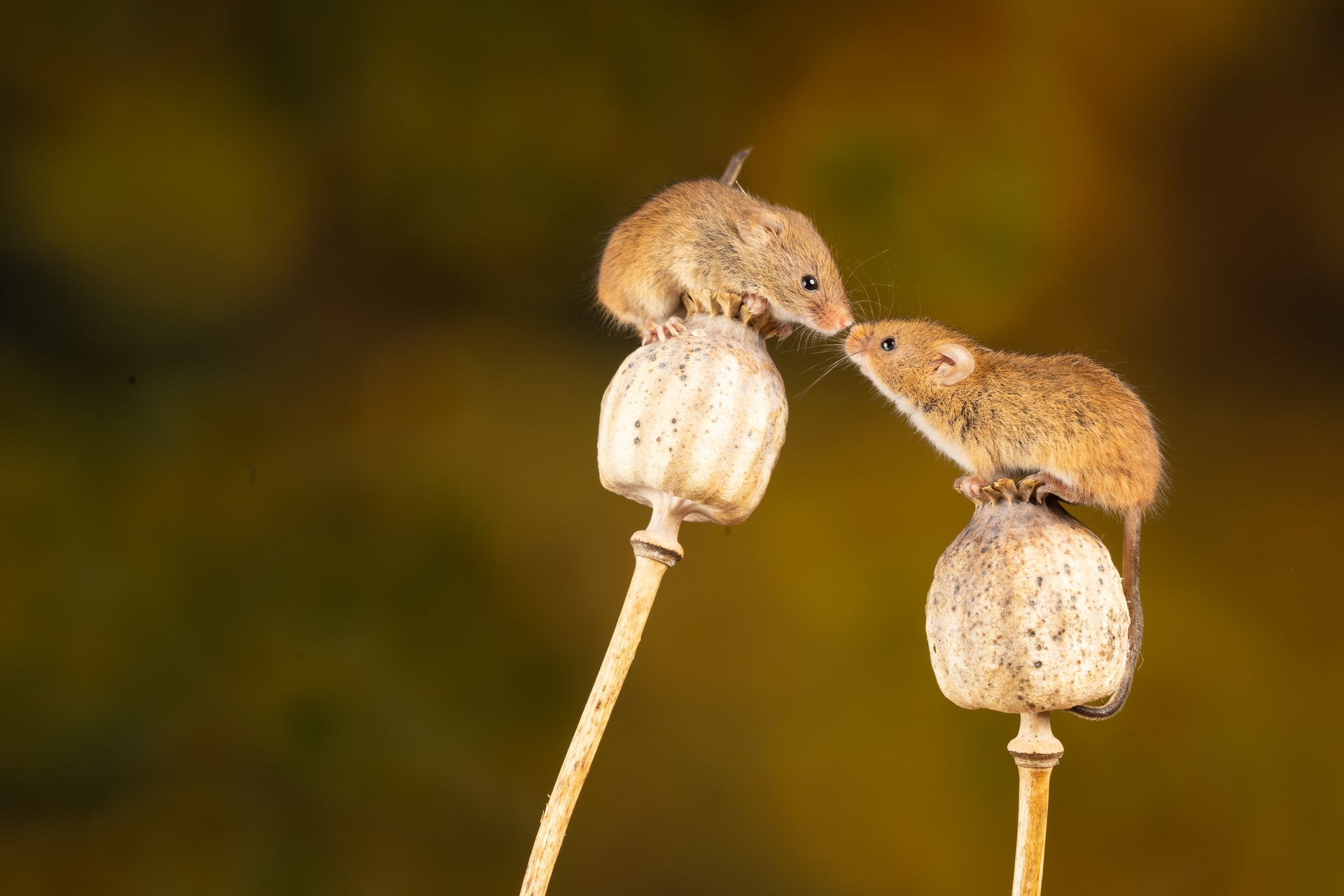 Field mice kissing.