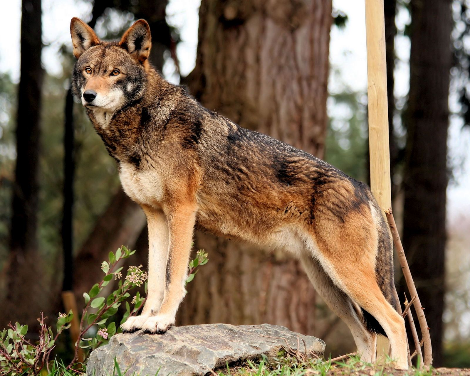 Red wolf.